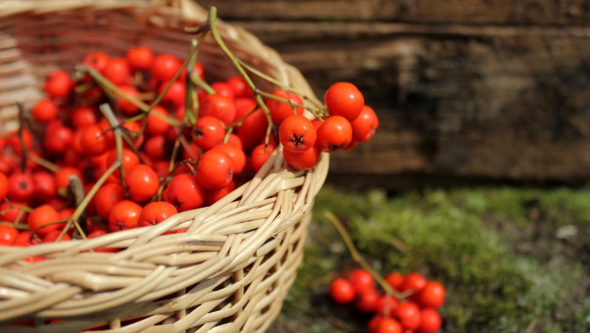 rognebær i kurv